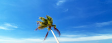 Coconut Palm Tilted Trees Perspective View Blue Sky