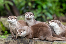 Group Of Attentive Oriental Small-clawed Otters