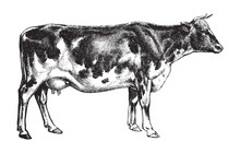 Cow - Dutch Cattle Breed / Vin...