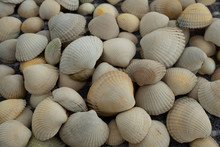 Many Clam Shells Ready For Cra...