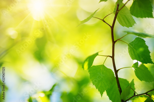 Obraz New birch leaves on green spring background - fototapety do salonu