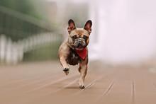 Happy French Bulldog Dog Running Outdoors In Summer