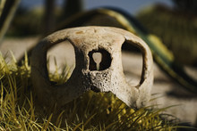 Sea Turtle Skull Laying In The...