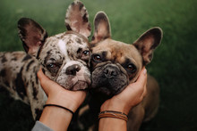 Two French Bulldog Dogs Portra...