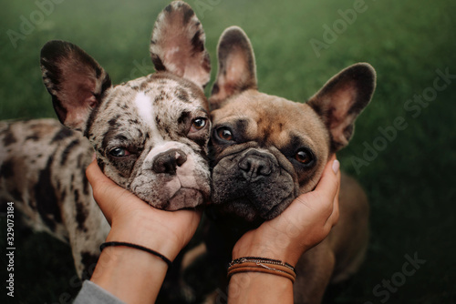 Photo two french bulldog dogs portrait close up outdoors together