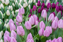 Lovely Delicate Elegant Lilac ...