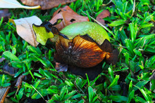 Fruit Of Suicide Tree Or Pong-pong Or Othalanga Or Cerbera Odollam In Which Some Peel Have Broken Apart And Fell On The Grass