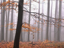Misty Autumn Forest, Remnants ...
