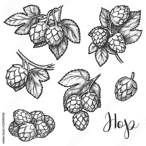 Fototapeta Hops plant cones sketch, beer brewing ingredient obraz