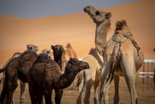 Family Of Camels Searching The...