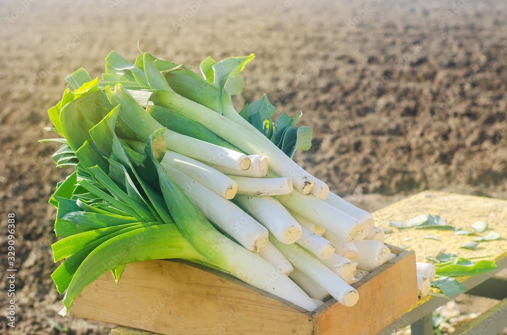 Fototapeta Freshly picked leek in box. Harvest. Harvesting. Agriculture and farming. Agribusiness. Agro industry. Growing Organic Vegetables. Selective focus