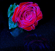 Beautiful Red Rose With Blue H...
