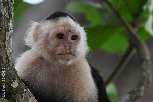 White-faced Capuchin in a tree Fototapet
