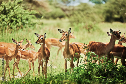 Photo Group of antelopes in National Park of Tanzania