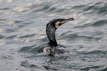 Great Cormorant Or Phalacrocorax Carbo In Nature
