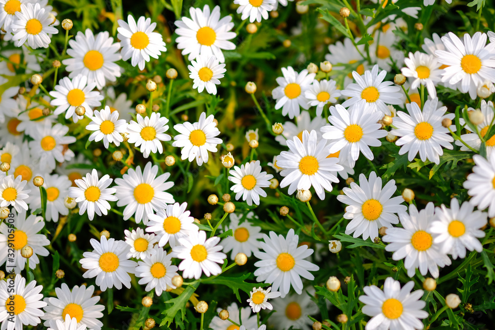 Fototapeta Wild daisy flowers growing on meadow. Meadow with lots of white and pink spring daisy flowers. panoramic spring web banner.