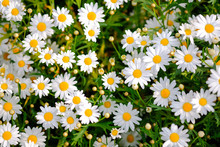 Wild Daisy Flowers Growing On ...