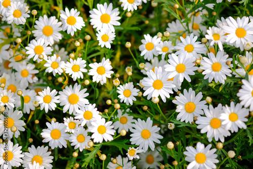 Fototapeta Wild daisy flowers growing on meadow