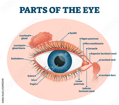 Obraz Parts of the eye, labeled vector illustration diagram - fototapety do salonu