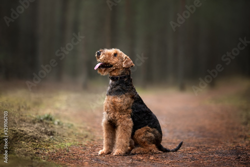 airedale terrier dog in a collar sitting in the forest Canvas Print
