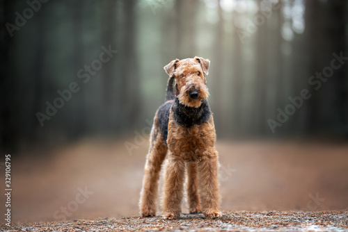 beautiful airedale terrier dog standing in the forest Canvas Print