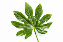Green Leaf Of Fatsia Japonica