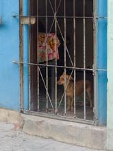 Dog Looking Through Metal Bars, Havana, Cuba