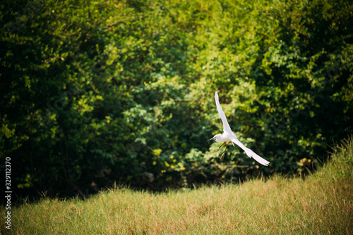 Goa, India. White Little Egret Landing On Grass Canvas Print