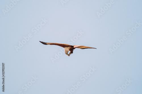 Photo Goa, India. Brahminy Kite Eating Crab In Flight In Blue Sky