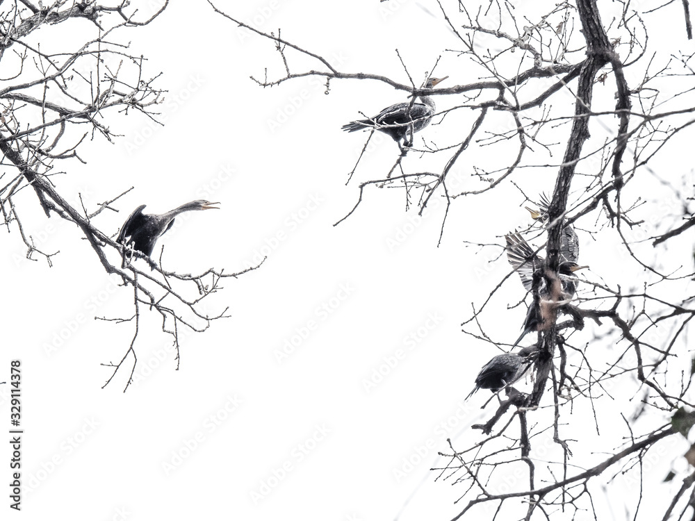 Fototapeta Don't Touch My Place – In the winter time, tons of birds migrate from north to Texas. They find their perfect nesting place on the tree. After winter, they will go back to their northern home again.
