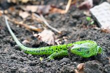 Portrait Of A Small Green Liza...