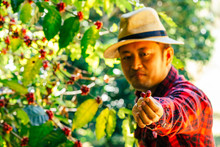 The Farmers Hold Fresh Coffee Beans In Hand.