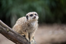 Portrait Of Meerkat Sitting On...