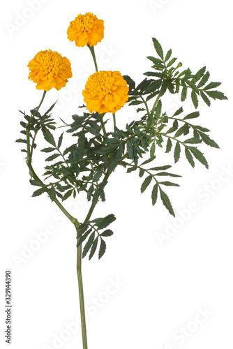 Cuadros en Lienzo marigold flower isolated