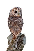 Tawny Owl (Strix Aluco) Lookin...