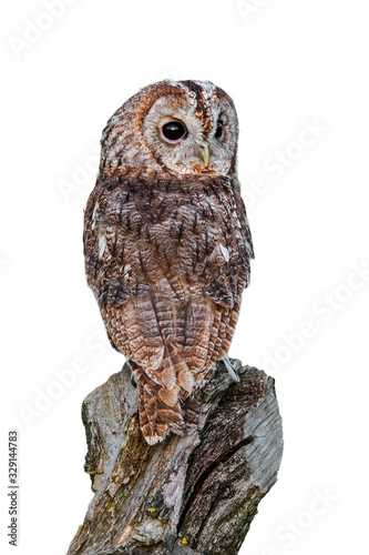 Tawny owl (Strix aluco) looking backwards from tree stump against white backgrou Wallpaper Mural