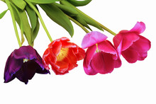 Four Tulips Of Violet, Red And...