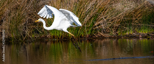 grande aigrette Canvas Print