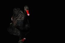 Black Swan With Red Beak On Bl...