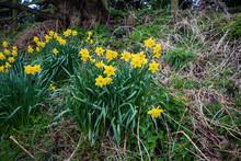 Clumps Of Daffodils Narcissus Growing Wild On An Uncultivated Bank With Last Seasons Dead Growth And This Years New Spring Growth Around Them