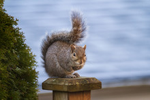 Squirrel Sits On Top Of Fence ...