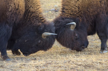 Young Bison Bulls In Yellowstone National Park Spar Along A Tourist Route.