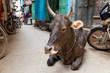 Sacred brown cow resting in a narrow street in Varanasi, India