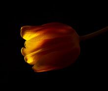Single Yellow Tulip Bud Agains...