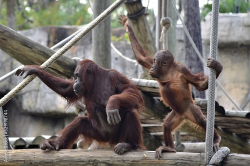 Mother and baby orangutan are looking bored Canvas Print