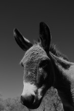 Mini Donkey Portrait Close Up ...