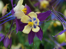 Columbine Flowers Of Various Colors With A Green Background
