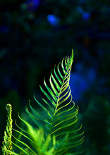 Green Fern Leaf In The Forest
