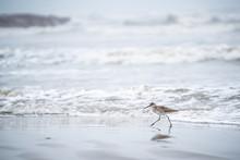 Shorebird In Galveston