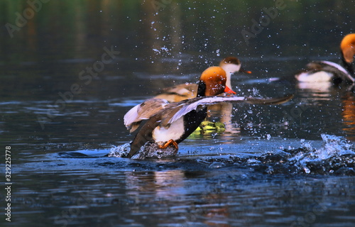 beautiful male red-crested pochard (netta rufina) trying to take a flight from l Canvas Print